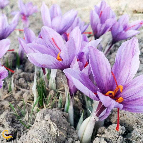 تصویری از گل زعفران سوغات قائن