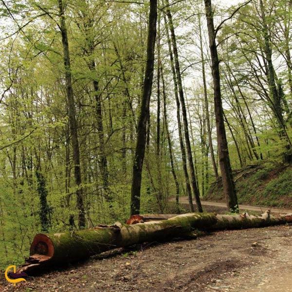 تصویری از جنگل توسکا گلوگاه