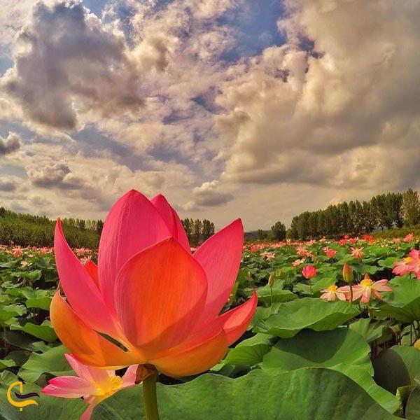 تصویری از گل نیلوفر آبی پارک ساری