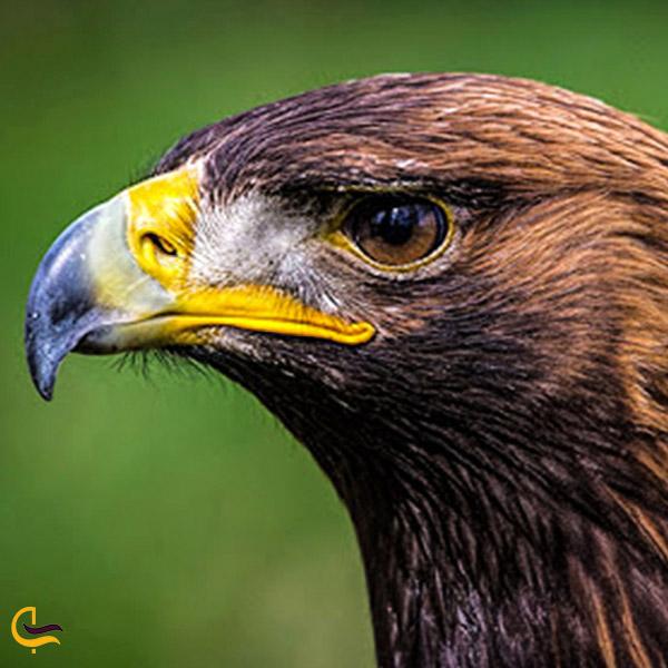 تصویری از عقاب طلایی