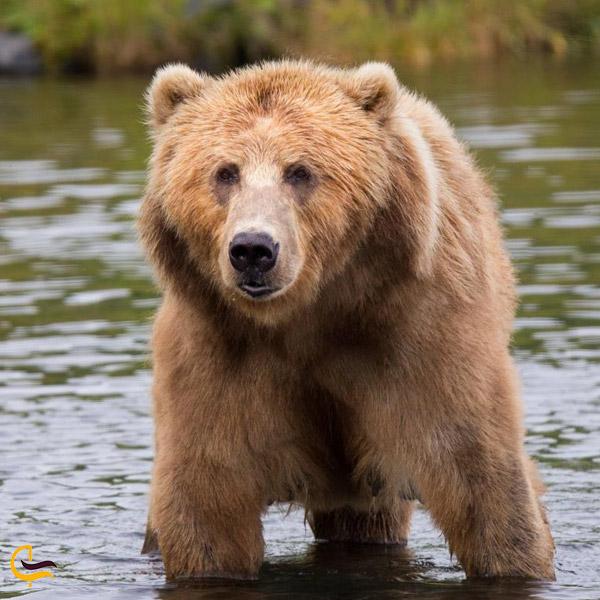 تصویری از خرس قهوه ای در طبیعت تکاب