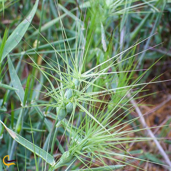 نمایی از گیاه گندومی در دریاچه ارومیه