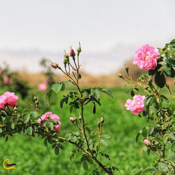 تصویری از گل سرخ در طبیعت بهاری
