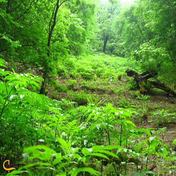تصویری از جنگلهای انبوه و سرسبز دودانگه ساری