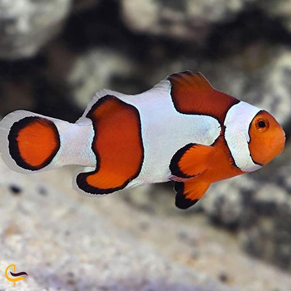 تصویری از دلقک ماهی های اکواریم دبی