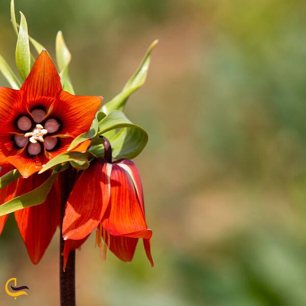 تصویری از گل لاله واژگون