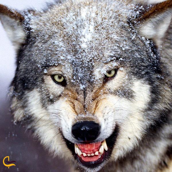 تصویری از گرگ در طبیعت جنگل های کلیبر