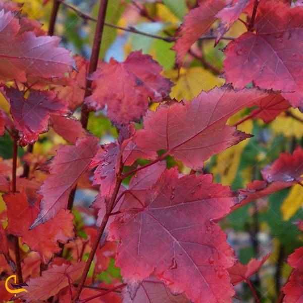 عکسی از برگ های درخت افرا در جنگل های کلیبر