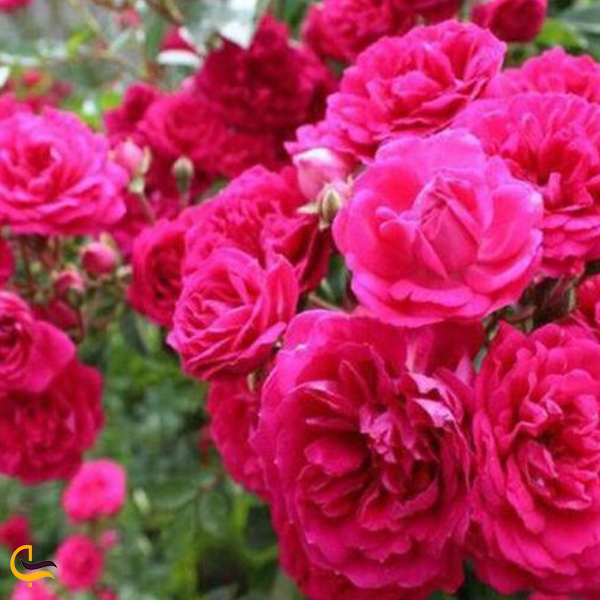 تصویری از گل سرخ