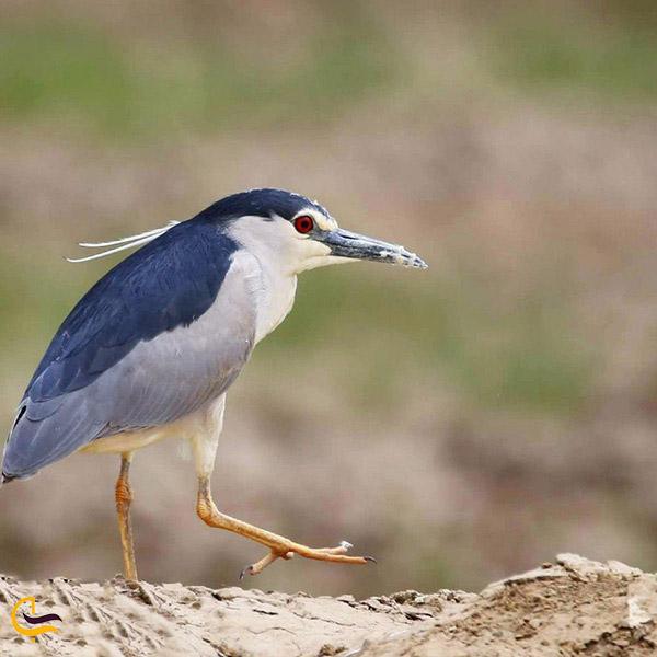 انواع پرندگان تالاب بامدژ خوزستان