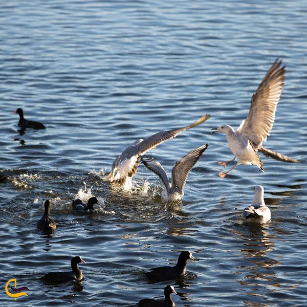 انواع پرندگان تالاب هشیلان