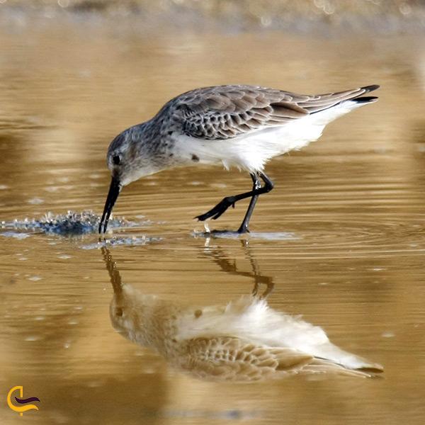 تماشای پرندگان زیبا در تالاب حله گناوه