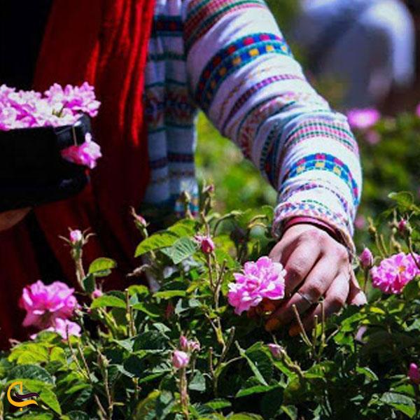 تصویری از چیدن گل محمدی