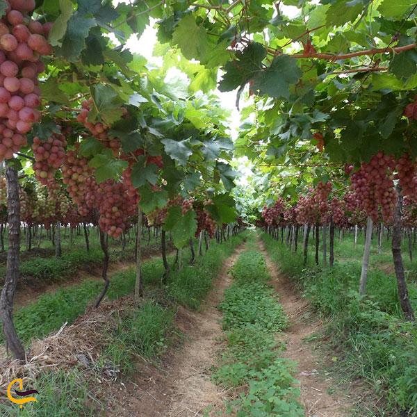 عکس باغهای انگور آذرشهر