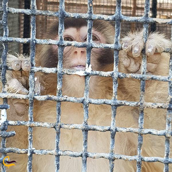عکس میمونهای پارک کروکودیل