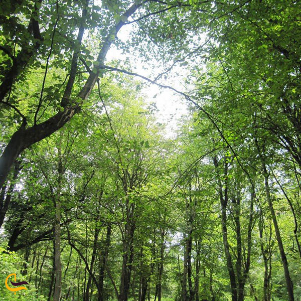 تصویری از درختان جنگل نور چشمه