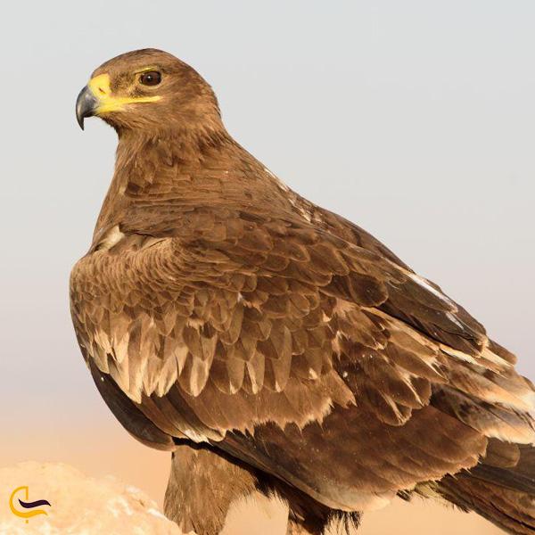 تصویری از عقاب جنگلی در طبیعت رودبار