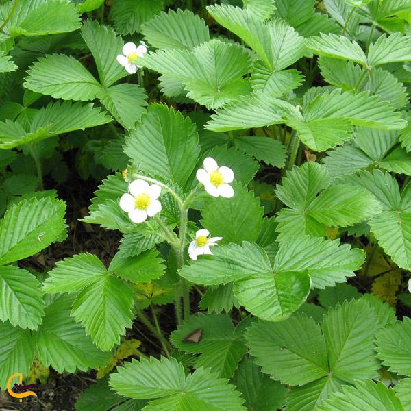 تصویری از گیاه توت فرنگی