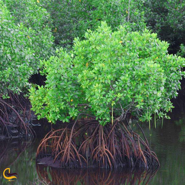 تصویری از جنگل حرا