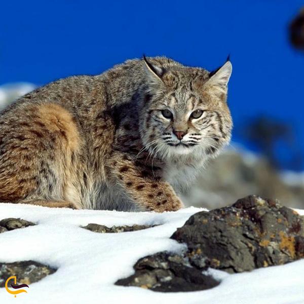 تصویری از گربه وحشی در طبیعت چشمه صیفو