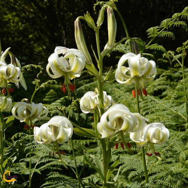 تصویری از گل سوسن چلچراغ داماش