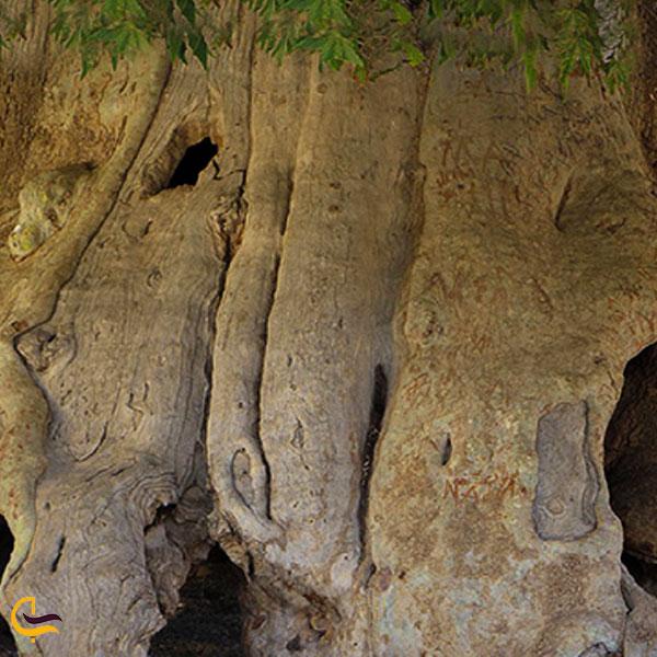 عکس درخت چنار ۷۵۰ ساله