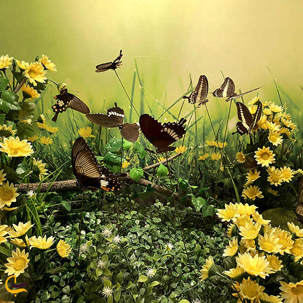 عکس پروانه های باغ گرمسیری پروانه