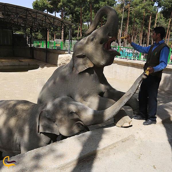 عکس فیل باغ وحش پارک ارم تهران