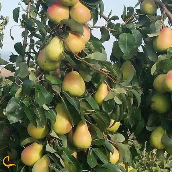 تصویری از باغ گلابی