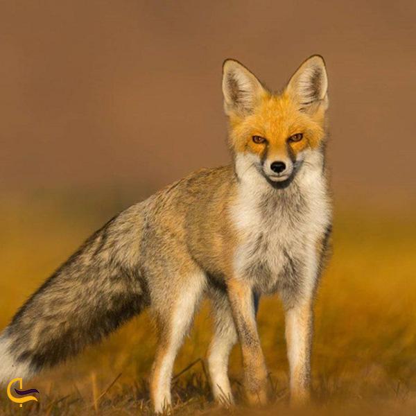 تصویری از روباه