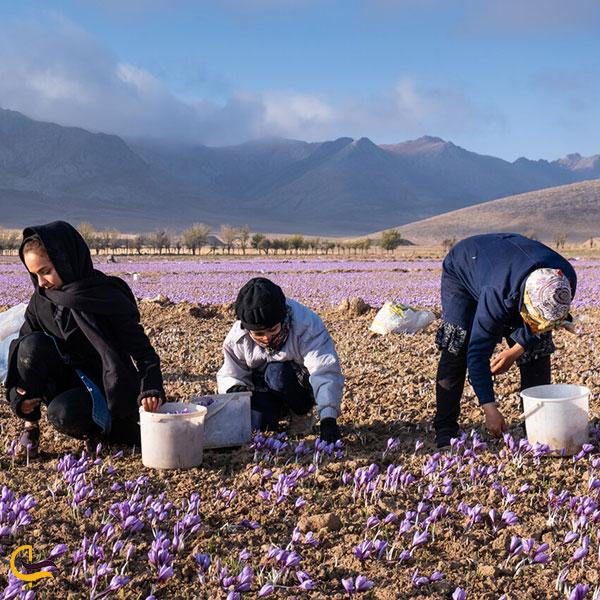 عکس کشت و برداشت زعفران در گناباد