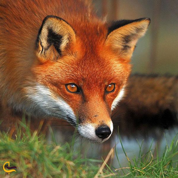 عکس روباه در اطراف ابشار