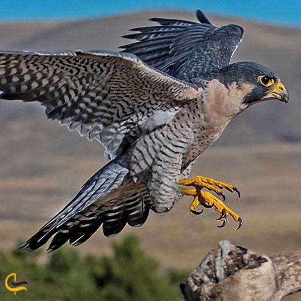 عکس پرندگان شکاری روستای جهان برگ