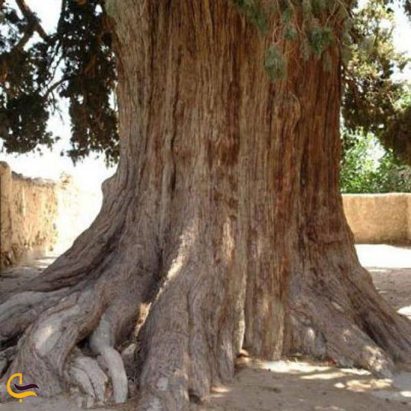 عکس درخت چنار هزار ساله در سنگان