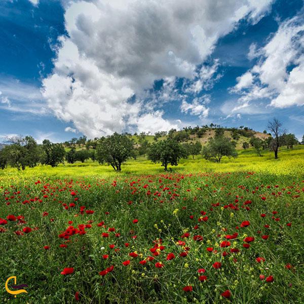 عکس شقایقهای سرخ طبیعت لردگان