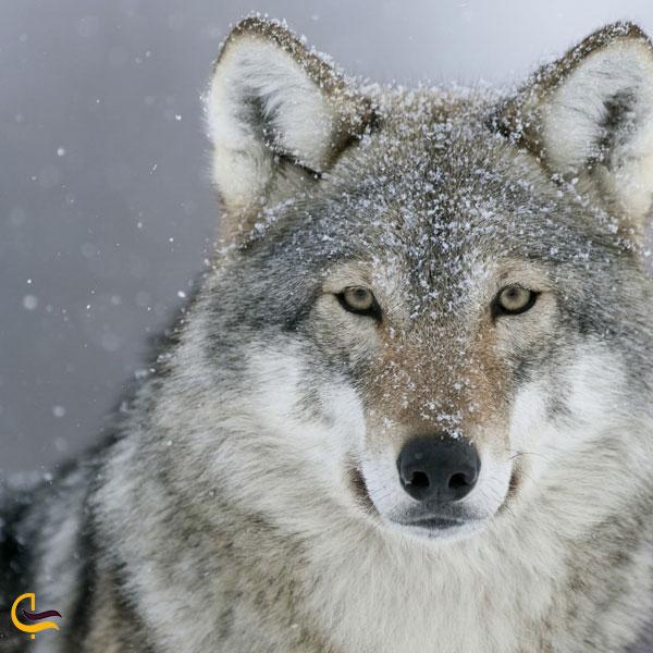 تصویری از گرگ در طبیعت روستای هجیج