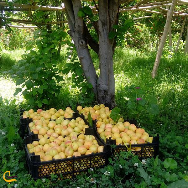 عکس باغ های میوه روستای پلکانی توداران