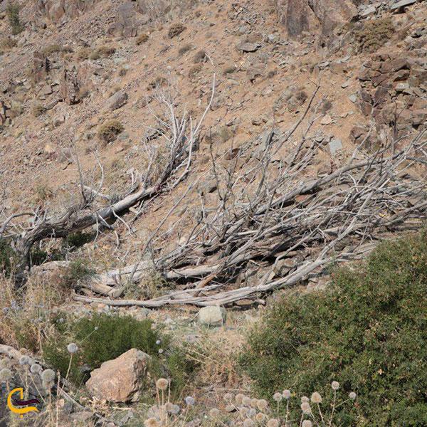 عکس پلنگ دره در قم