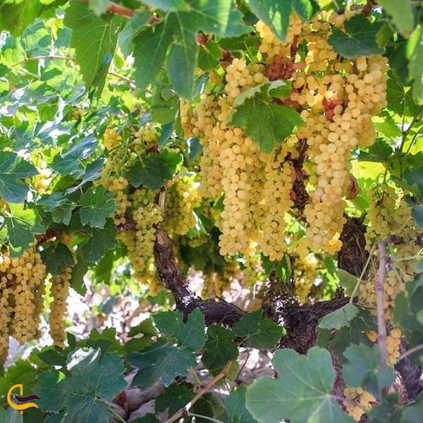عکس باغ انگور در توداران