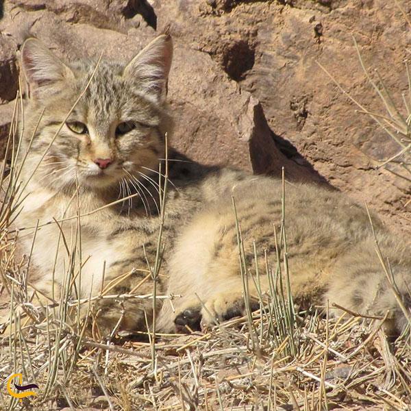 عکس پستانداران منطقه محافظت شده میشو داغ